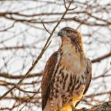 Valley Views: Hawk on the hunt