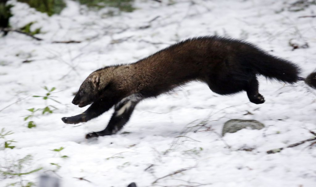 Left: A Pacific fisher takes off running after being released into a forest at Mount Rainier National Park, Wash. Pacific fishers are slowly making a comeback in Washington state.