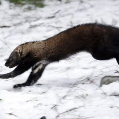 Rare weasel  makes a comeback