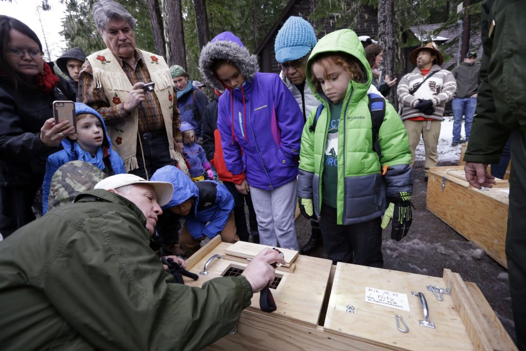 In this Friday, Dec. 2, 2016, photo, visitors peer into a box holding a Pacific fisher before the animal was released into a forest at Mount Rainier National Park, Wash. Pacific fishers, forest-dwelling weasel-like mammals whose numbers have declined in the West Coast over the decades, are slowly making a comeback in Washington state. The fisher was among 10 captured days earlier in British Columbia, and then released Friday as part of a multi-year effort to restore them to their historic range. (AP Photo/Elaine Thompson)