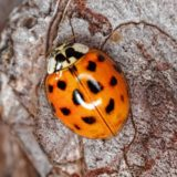 Earth Matters: Harlequin ladybugs: Helpful on one hand, troublemakers on the other