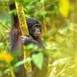 Earth Matters: Peace, love and bonobos: How a great ape can lead us to a better world