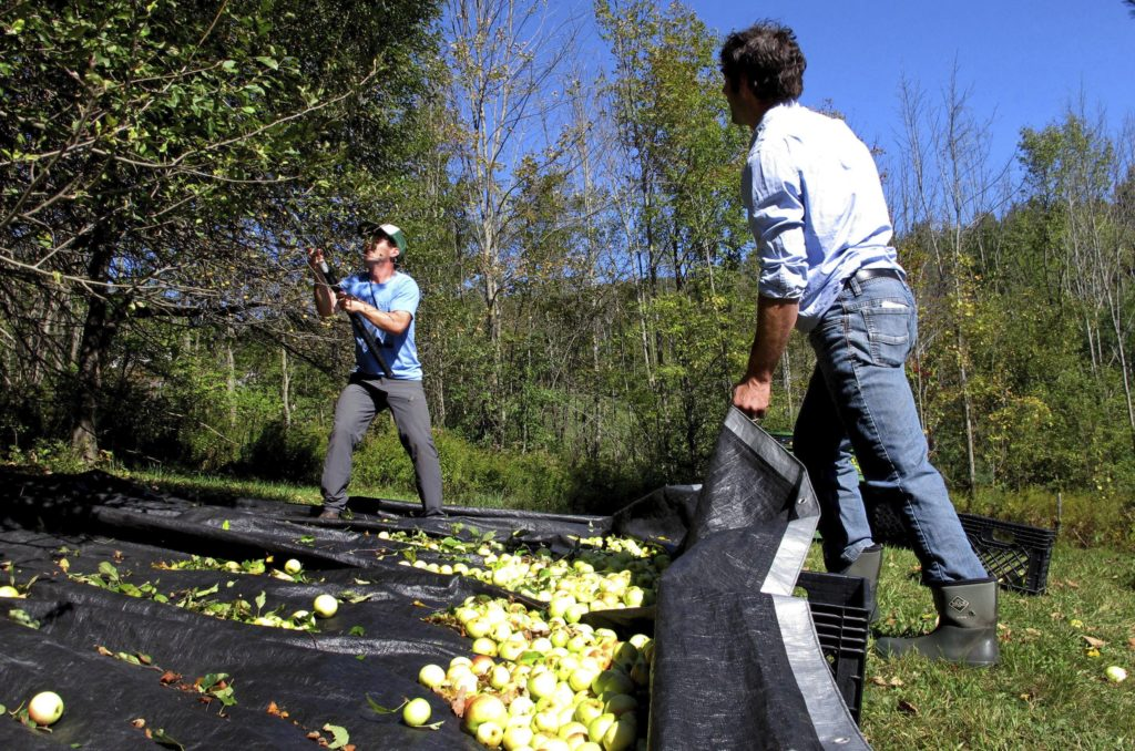 In this Oct. 3, 2017 photo, David Dolginow, left, co-founder of Shacksbury Cider, and colleague Michael Lee harvest wild apples in Rochester, Vt., for the company's specialty ciders. Shacksbury Cider harvests wild apples from mountain roadsides, old farmsteads and pastures and the backyards of homes through its Lost Apple Project. It produces specialty hard ciders from the harvests and propagates its own trees from some of the best wild ones.   (AP Photo/Lisa Rathke)