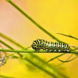 Valley Views: Black Swallowtail Caterpillar in Belchertown