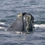 Whales, after deadly year, could become extinct