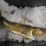 Cod catch at all-time low, but rebound could be near