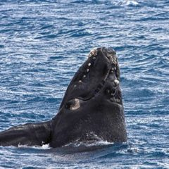 Endangered whales feeding off Cape Cod