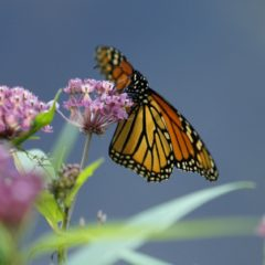 A makeover for milkweed