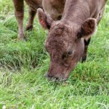Guest columnist Claire Morenon:Land use, environmental impact, and local meat
