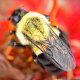 Citizen 'beecologists' digging into pollinator decline mystery
