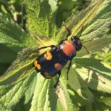 US wildlife officials propose downlisting endangered beetle