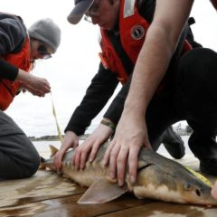 Guest column Karl Meyer: A sturgeon revival on the Connecticut