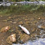 MassWildlife: Tens of thousands died in North River fish kill
