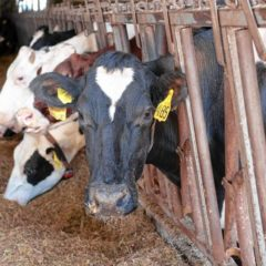 Raising green beef:How cattle, dairy farmers are becoming environmentally friendly