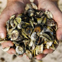 Climate change challenging Massachusetts oyster fishery