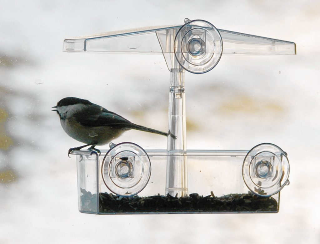 A chickadee sits on a window feeder in Bernardston. Narango found that over two-thirds of the vegetation in the area needs to be native plants to maintain their population, and 90 percent of the vegetation needs to be native for chickadees to thrive and expand their numbers.