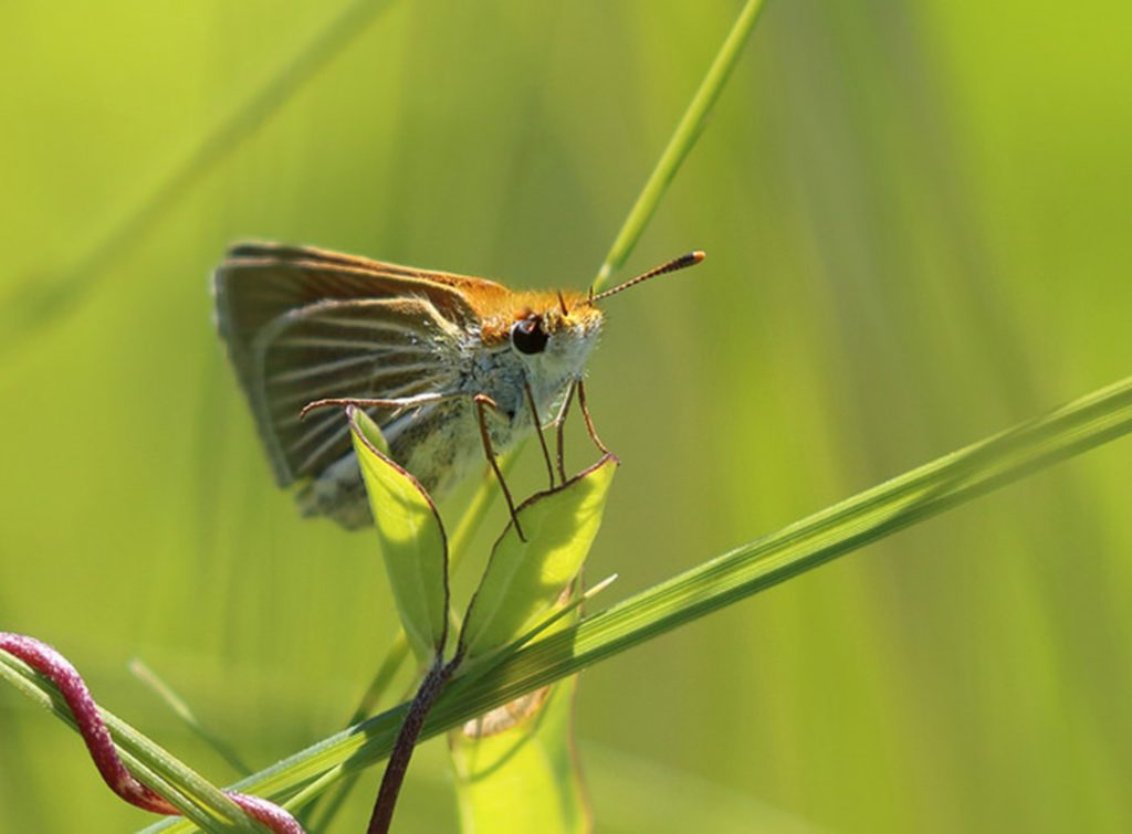 The endangered Powesheik skipperling butterfly rests on a blade of grass. (Vince Cavalieri/U.S. Fish and Wildife Service/TNS)