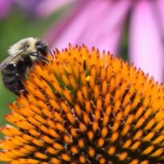 Eight towns developing pollinator action plans with FRCOG