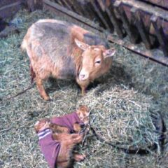 Christmas trees sought for goats in Amherst